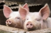 UK's pork exports down in July