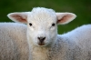 Superior Farms to export lamb products to Japan